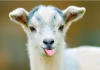 Goats & Sheep Are The Funniest Animals!